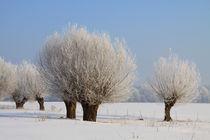 Kopfweiden im Winterkleid 14 von Karina Baumgart