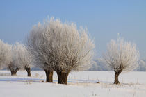 Kopfweiden im Winterkleid 14 by Karina Baumgart
