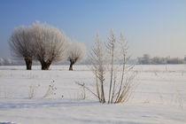 Kopfweiden im Winterkleid 12 von Karina Baumgart