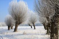 Kopfweiden im Winterkleid 10 von Karina Baumgart