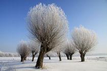 Kopfweiden im Winterkleid 08 von Karina Baumgart