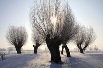 Kopfweiden im Winterkleid 05 von Karina Baumgart