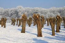 Kopfweiden im Winterkleid 04 von Karina Baumgart