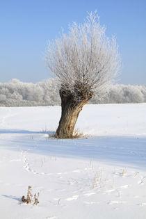 Kopfweiden im Winterkleid 02 von Karina Baumgart