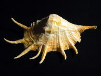 Giant Spider Conch Seashell Lambis truncata by Frank Wilson