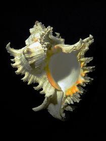 Rams Horn Seashell Murex ramosus by Frank Wilson