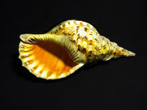 Triton Trumpet Seashell Cymatium tritonis by Frank Wilson
