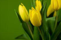 Tulips by Peter Zvonar