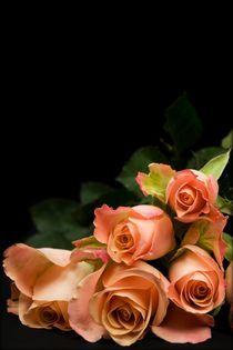 Roses by Peter Zvonar