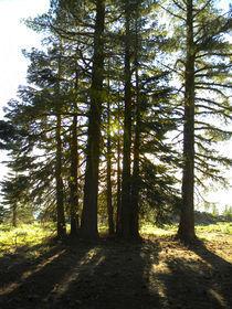 Back lit Trees von Frank Wilson