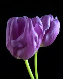 Lila Tulpen von Kerstin Runge