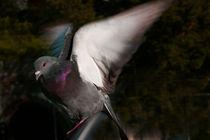 Taube von pahit