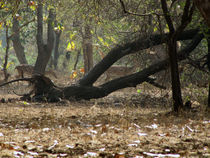 Gir Asiatic Lions sanctuary by AAYAM communication