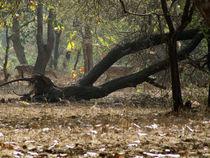 Gir Asiatic Lions sanctuary von AAYAM communication