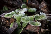 Frost Nature von Tiago Pinheiro