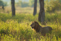 Male Lion in the high grass von Johan Elzenga