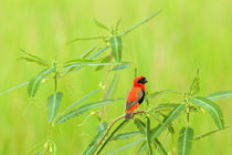 Red Bishop sitting in the grass by Johan Elzenga