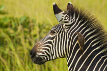 Zebra and oxpecker von Johan Elzenga
