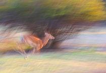 Running impala von Johan Elzenga