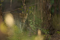 Leopard in the undergrowth by Johan Elzenga