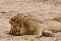 Lion cub hugs mother
