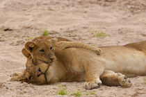 Lion cub hugs mother von Johan Elzenga