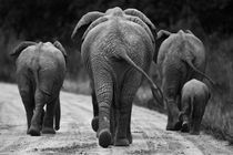 Elephants in black & white by Johan Elzenga