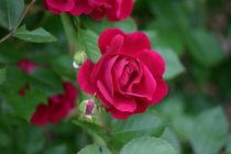 Red Rose by Robert E. Alter / Reflections of Infinity, LLC