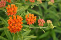 Butterfly Weed From Bud to Flower von Robert E. Alter / Reflections of Infinity, LLC