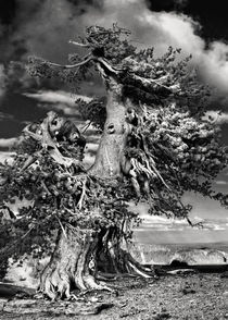 Lone gnarled Bristlecone Pine, Crater Lake, Oregon by Christine Till