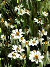 A-daisies-painting