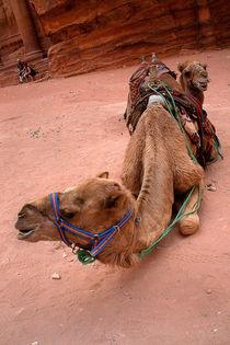 Camel by Georgi Bitar