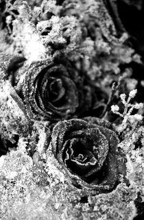 Frozen Roses by Amos Edana