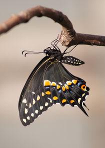 Pre-Flight Black Swallowtail von Robert E. Alter / Reflections of Infinity, LLC