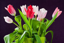 Tulips by holka