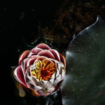 Water lily flower and pad by James Dricker