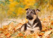German shepherd dog puppy von Waldek Dabrowski