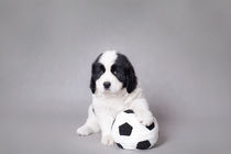 Little Landseer puppy with soccer ball portrait by Waldek Dabrowski