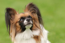 Papillon dog by Waldek Dabrowski