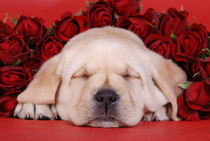 Sleeping Labrador puppy with roses von Waldek Dabrowski