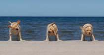 Three Labradors retriever on the beach by Waldek Dabrowski