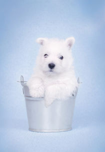 West Highland White Terrier puppy in the bucket by Waldek Dabrowski