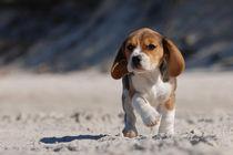 Beagle puppy on the beach