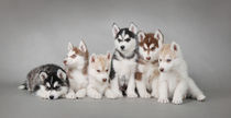 Husky dog puppies by Waldek Dabrowski