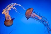 Jelly Fish von James Dricker