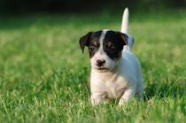 Jack Russell Terrier puppy by Waldek Dabrowski