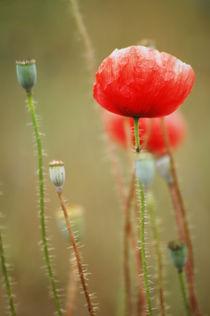 Poppy  von Katia Boitsova-Hošek