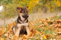German shepherd dog puppy by Waldek Dabrowski