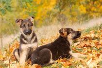 German shepherd dog puppies von Waldek Dabrowski