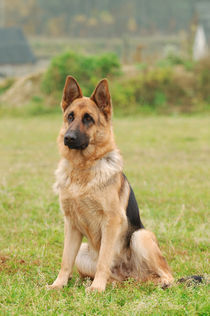 German shepherd dog von Waldek Dabrowski